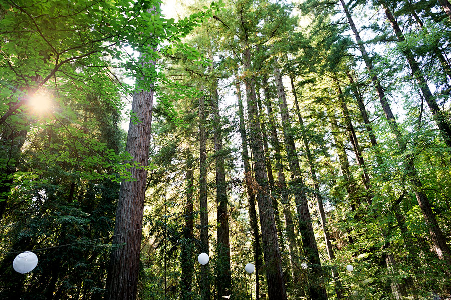 redwood forest landscape of trees