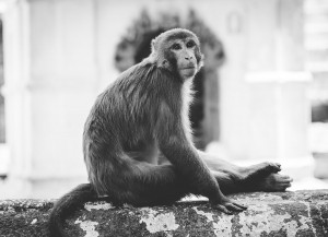 monkey resting on a wall