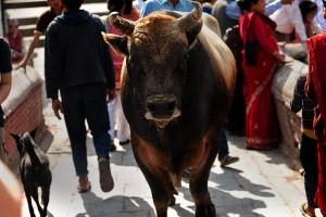 kathmandu cows are worshipped